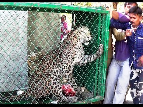 AMAZING LEOPARD RESCUE OPERATION Rare Leopard rescued from open well at Kariya village
