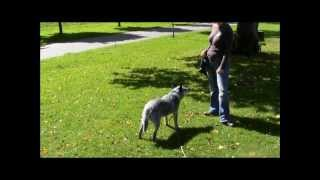 Clicker Training A Reactive Cattle Dog