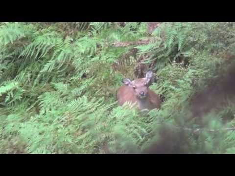 Sika rut in the Mangaroa Block 2013 - With rifle cam!