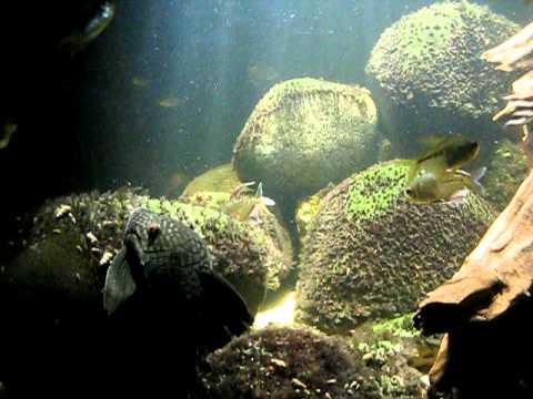 Diamond Tetra Panaque And Porthole Catfish Avi Youtube