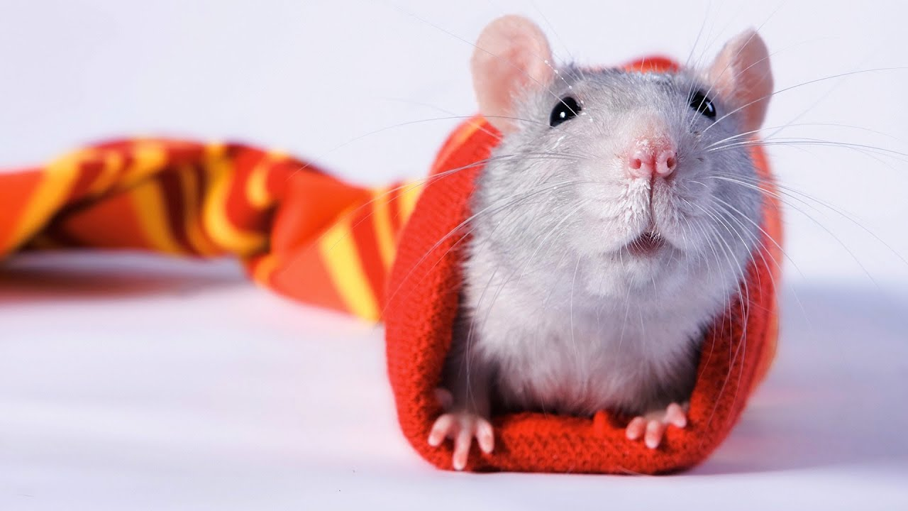 how to catch a pet rat
