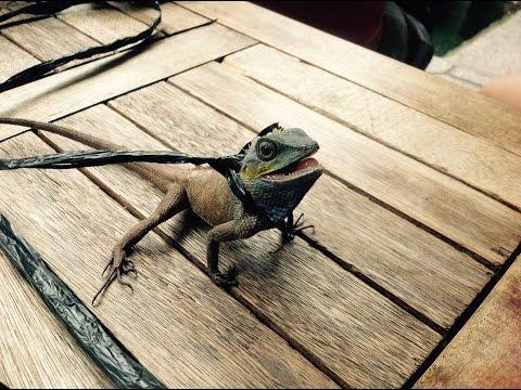 HƯỚNG DẪN CÁCH BẮT KÌ NHÔNG TẮC KÈ How to catch a lizard