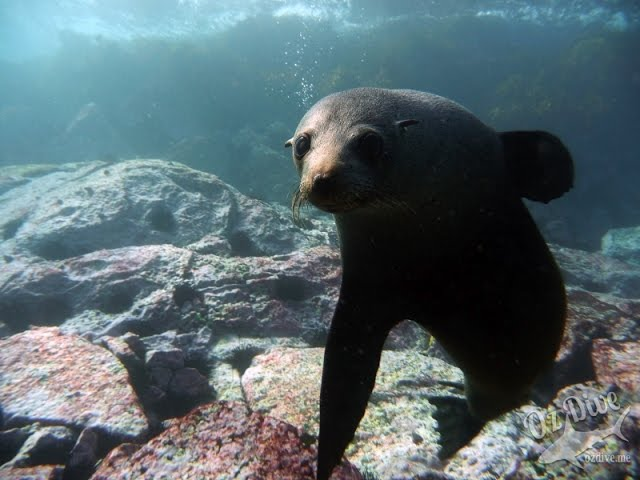 OzDive in Australia - Diving with Seals on Montague Island (2015)
