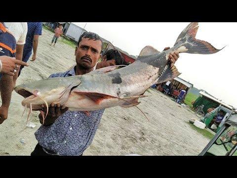 পদ্মার-বাঘাআইড়-মাছ-||-দাম-শুনে-মাথায়-হাত-||-মৈনট-ঘাট-||-padma-riverside-fish-market.-amazing-padma.