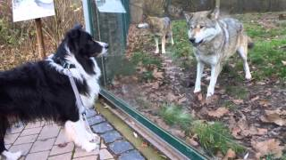 Wolf and dog - friendly encounter