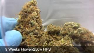 SCROG Grow Part3# Flower: Week 6-10+Harvest 250w HPS Pineapple Chunk, Bubblelicous, Berry Bomb HD