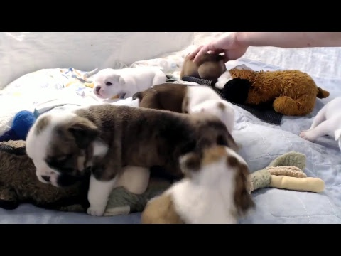 Bulldog Puppy Watch - Live Stream - Day 23