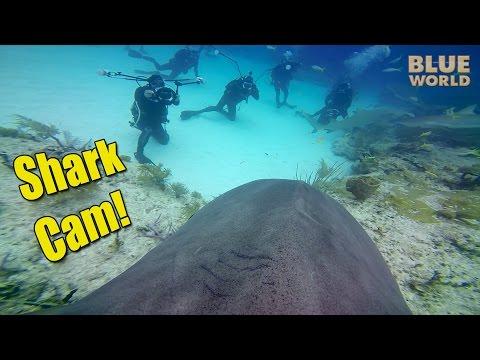 Tiger SharkCam | JONATHAN BIRD'S BLUE WORLD