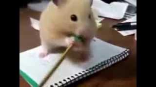 Прикольный хомяк. Funny animals, hamsters and cats