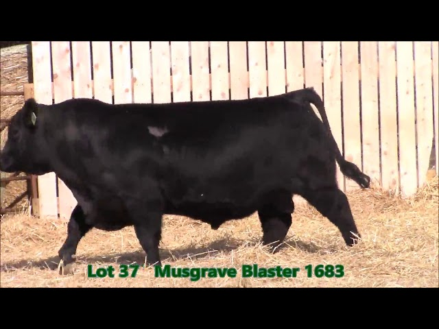 Musgrave Angus Lot 37