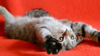 Предлагаем: котята для Вас! Котята - девочки шотландские пятнистого окраса.