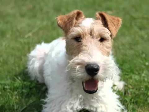 Dog Fox Terrier   Terrier Dog Breed Picture Collection - YouTube