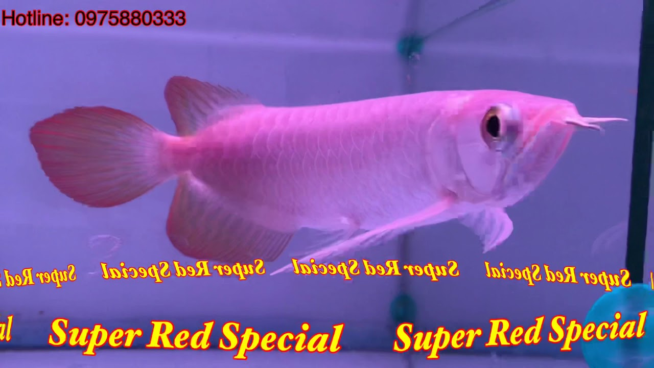Super Red Special   Cá Rồng Hoàng Lam