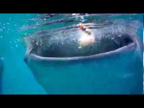 Bohol Whale Sharks
