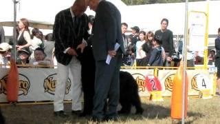 2011.10.16岡山県で行われたドッグショー中国インターにサーヤを初めて...