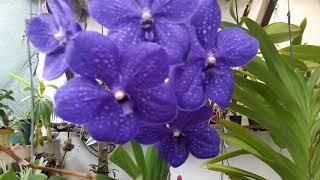 Cultivo de Orquídea Vanda em Local Coberto