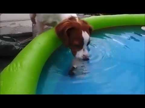 Abbie nose diving (7 months old) Brittany dog/Epagneul breton/Bretaňský ohař