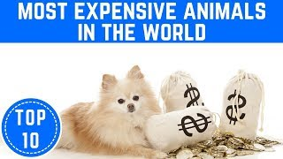 Top 10 Most Expensive Animals In The World - TTC