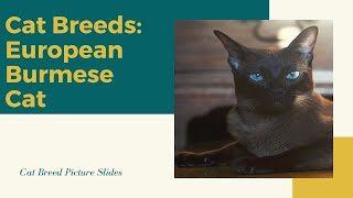 European burmese Slides  Cat Breeds