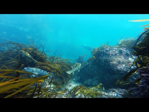 NZ Spearfishing And Paua Diving