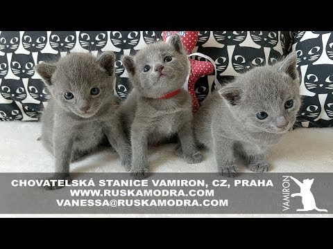 14 WEEKS OF LIFE IN OUR BREEDING STATION RUSSIAN BLUE CATTERY VAMIRON, CZ - LITTER C - 4:53