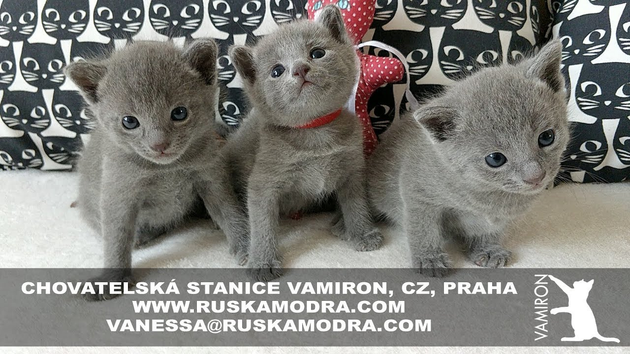 14 Weeks Of Life In Our Breeding Station Russian Blue Cattery Vamiron Cz Litter C 4 53 Youtube