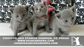 14 WEEKS OF LIFE IN OUR BREEDING STATION RUSSIAN BLUE CATTERY VAMIRON, CZ  LITTER C  4:53