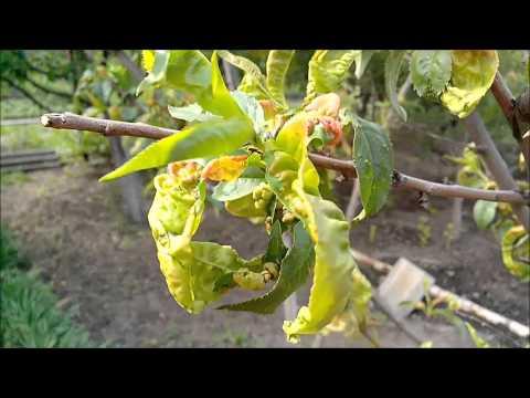 Курчавость листьев у персика