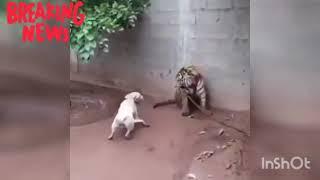 หมาพิทบูล สู้กับ เสือโคร่ง