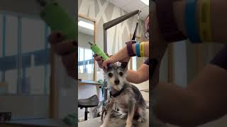 Angel  Nervous Terrier  Haircut