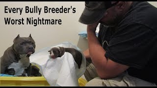 Every American Bully Breeder's Worst Nightmare - Raw Reality Of Delivering Puppies