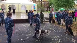 Испанская Водяная Собака Файер