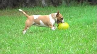 Bulma R.i.p  Miniature Bull Terrier