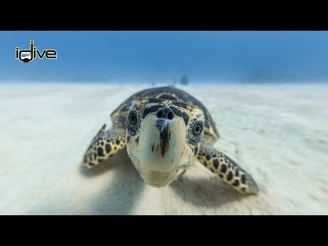 Sea Turtles of the Cayman Islands