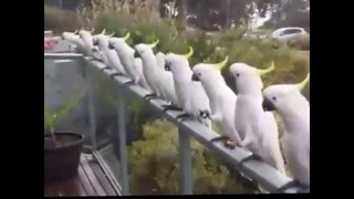 Wild Cockatoos having lunch...intelligent bird eating from hand