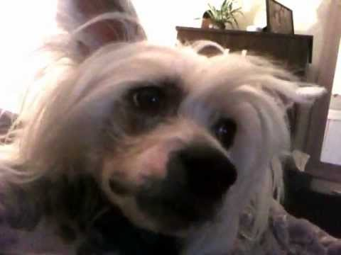 My funny talking dog chinese crested
