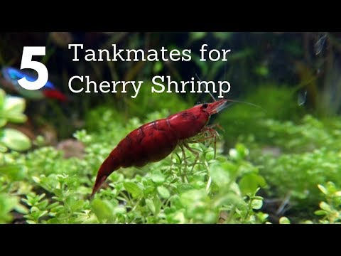 5 Tankmates For Cherry Shrimp (Neocaridina)