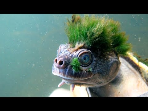 """Australia's """"punk turtle"""" risks being last of the Mohicans"""
