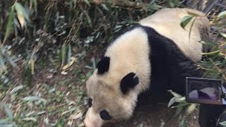 "Rescued Wild Giant Panda ""Wolong II"" Released Back Into The Wild"