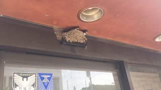 ケアホーム常陸国府館の目の前のビルにツバメが巣をつくりました。 ヒナ...
