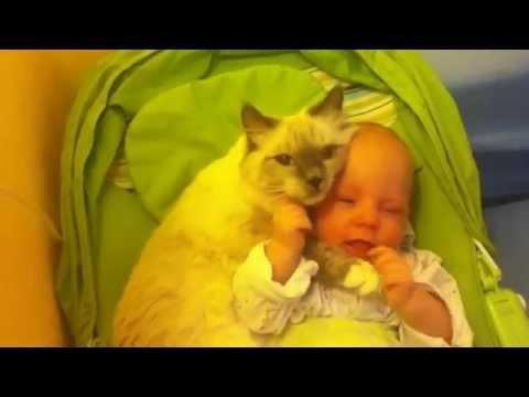 Заботливая кошка рэгдолл ухаживает за ребенком (Ragdoll Cat)