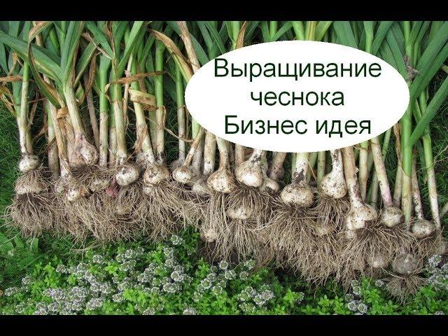Выращивание чеснока. Бизнес идея