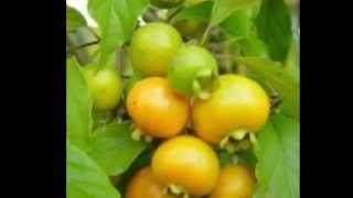 """El """"Guabirá"""", (Campomanesia xanthocarpa)"""