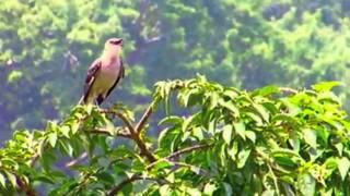 A mockingbird calls for mates