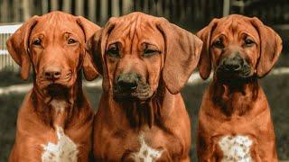Rhodesian Ridgeback Puppies Available +918815289002