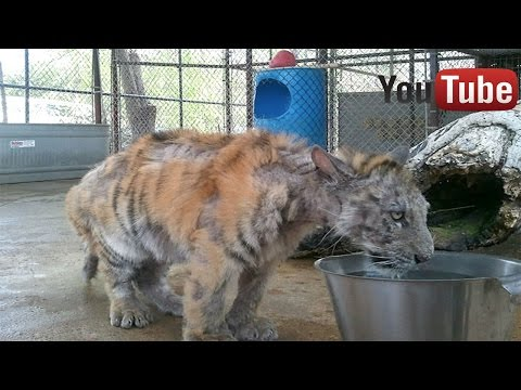 La transformación de un tigre rescatado de un circo