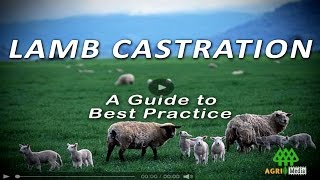 Repeat youtube video LAMB CASTRATION - A Guide to Best Practice