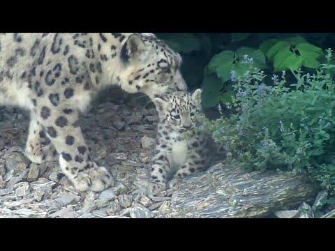 Download Młode pantery śnieżne (irbisy) - ZOO Wrocław - Cute snow leopard cubs