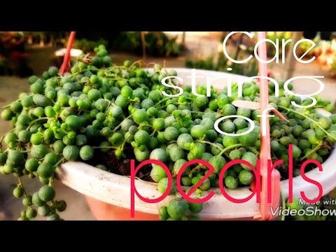 How to care String of pearls plant (Hindi)