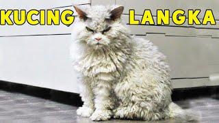 SEPERTI KUCING TAK TERURUS TERNYATA KUCING INI MAHAL DAN LANGKA   LaPerm Cat
